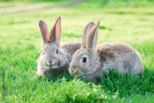 two grey rabbits in green grass outdoor Wallpaper Mural