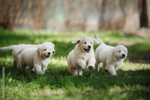 Little puppys Golden retriever Fototapet