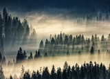 coniferous forest in foggy mountains - 111008229