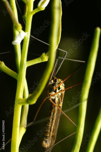 Duży komar na łodydze - 111019401
