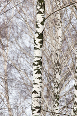 Fototapeta birch tree trunk in a forest in nature