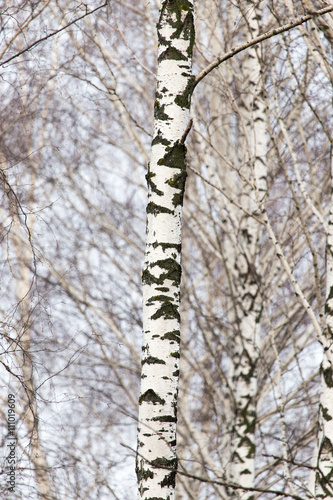 birch tree trunk in a forest in nature - 111019609