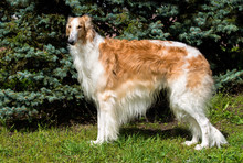 Borzoi Russian Brown. The Borz...