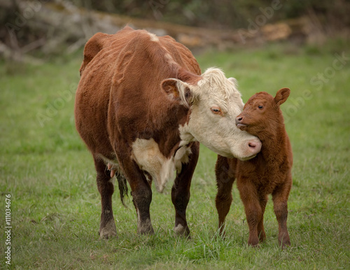 Photo Stands Cow Momma Cow and Calf