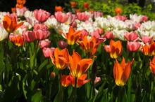 Solar Flowerbed Of Tulips
