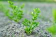 Młody seler rosnący w ogrodzie