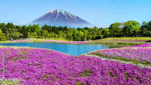 In de dag Lavendel Fuji with the field of pink moss at Shibazakura festival, Yamana