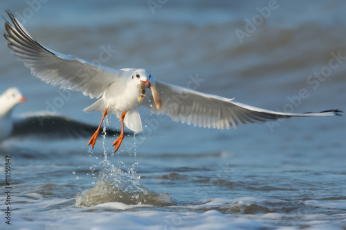 Aluminium Prints Grocery Gull splashing in the sea