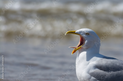 Valokuva  Seagull calling with tongue showing