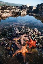 Vibrant Seastars In Tide Pool