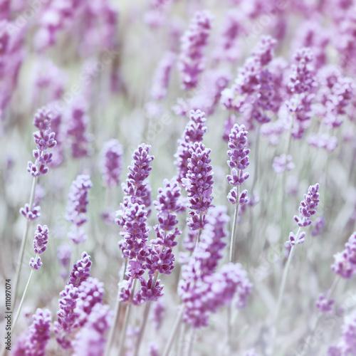 Fototapeta Purple Lavender  obraz na płótnie