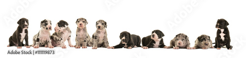 Fototapeta Litter of 10 cute great dane puppies isolated on a white background obraz