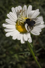 Bumble Bee Being Eaten By Two Crab Spiders On A Daisy