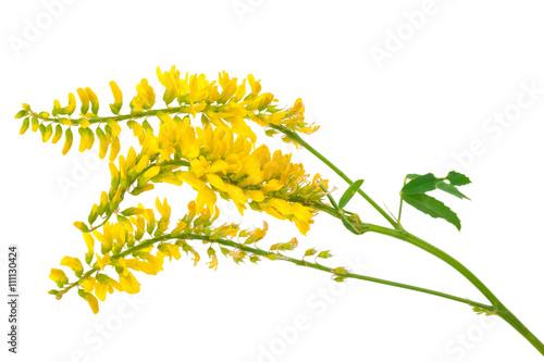 Medicinal plant: Melilotus officinalis (Yellow Sweet Clower) Wallpaper Mural