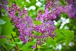 lila Flieder in voller Blüte