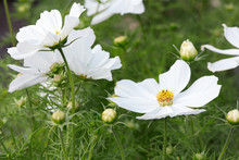 White Garden Cosmos Flowers, Cosmos Bipinnatus Background