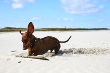 Dachshund/ Small Dachshund Digging In The Sand