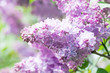 Blooming pink flowers. Lilac bush macro view. Sunny day, spring time scene
