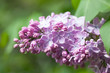 Branch lilac flowers with green leaves background, soft focus. shallow depth of field