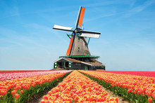Landscape Of Tulips And Windmills In The Netherlands.