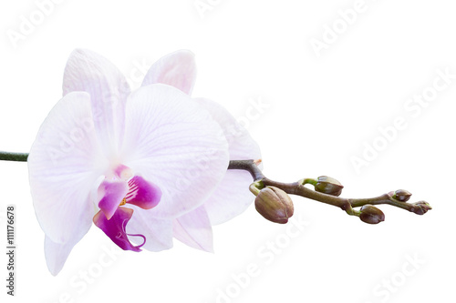 pink-orchid-with-buds-on-a-branch-on-a-white-background