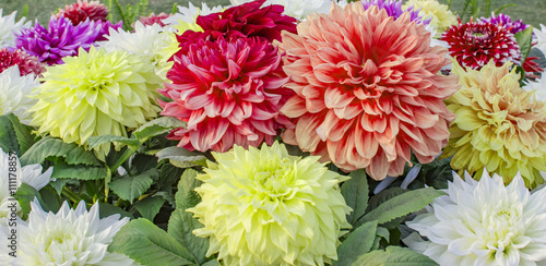 Poster de jardin Dahlia Yellow, orange and red dahlia flowers and plants
