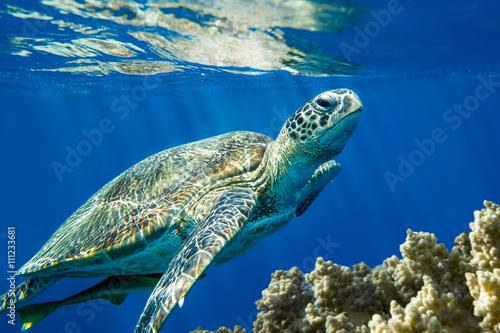 Foto op Aluminium Schildpad Loggerhead sea turtle Caretta caretta - Red Sea