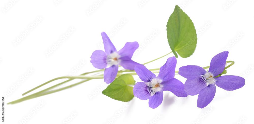 Fototapety, obrazy: Violet