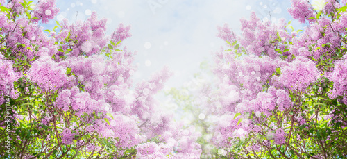 Garden Poster Lilac Lilac blossom with bokeh over sky background. Outdoor nature background with lilac flowering in garden or park, banner