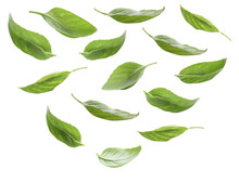 Set Of Fresh Basil Leaves Isol...