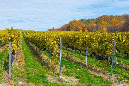 Papiers peints Vignoble red grapes in a vineyard