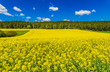 Raps Acker Gelb Frühling Landwirtschaft