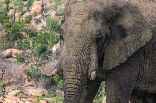 Canvas Prints Elephant Elephant in the wild at the Welgevonden Game Reserve in South Africa