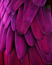 Pink And Purple Feathers