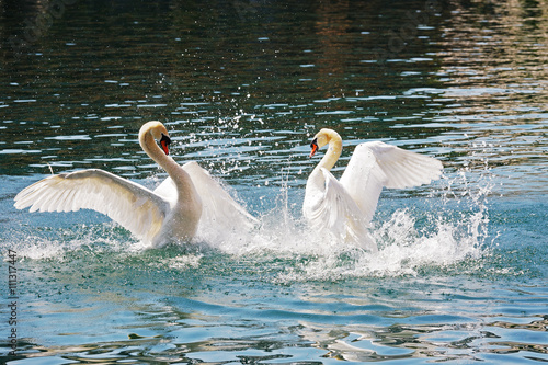Foto op Aluminium Zwaan Two dominant swans battle, Reuss river