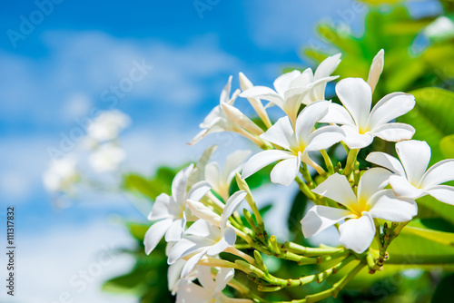 In de dag Frangipani White plumeria with blue sky background