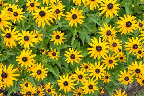 Fotografering  black-eyed susan flowers