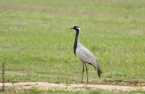 Photo Demoiselle crane (Anthropoides virgo ) in the field of Kalmykia, Russia