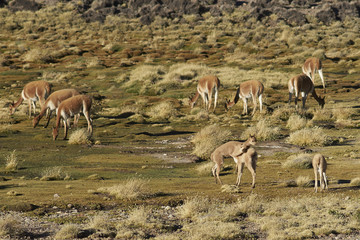 Group of adult and young vicuna (Vicugna vicugna) grazing and playing on a wetland or bofedal in Lauca National Park on the Altiplano of north east Chile.