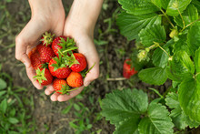 Hands With Fresh Strawberries ...