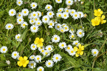 Close Up Of White Daisies And Yellow Buttercups In Grass With Field Flowers
