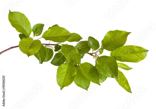 Láminas  apple-tree branch with green leaves. Isolated on white backgroun