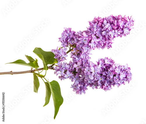 Fotobehang Lilac Flowering branch of lilac. isolated on white background