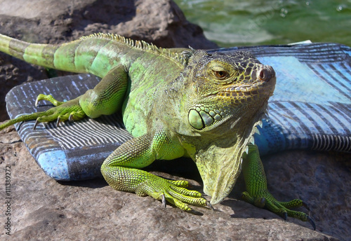 obraz lub plakat Young Iguana male laying on a driveway taking the early morning sun
