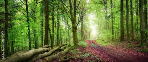 Fototapeta Lasowa ścieżka w zielonym lesie w miękkim świetle. panorama