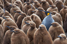 Adult King Penguin (Aptenodyte...