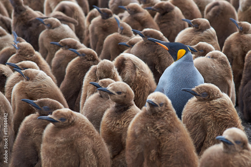 In de dag Pinguin Adult King Penguin (Aptenodytes patagonicus) standing amongst a large group of nearly fully grown chicks at Volunteer Point in the Falkland Islands.