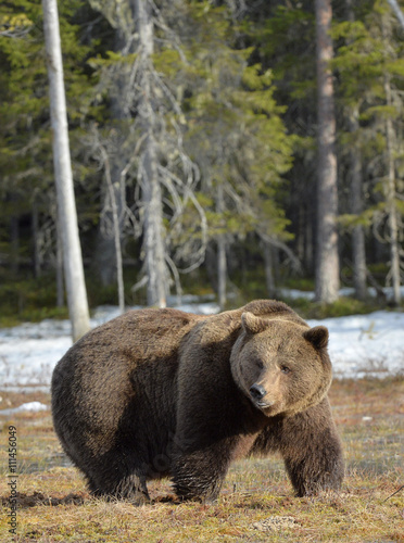Fotobehang Ree Big male brown bear on a bog in the forest in spring.