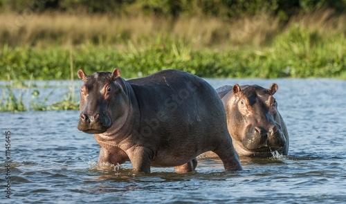 Canvas-taulu Hippopotamus in the water