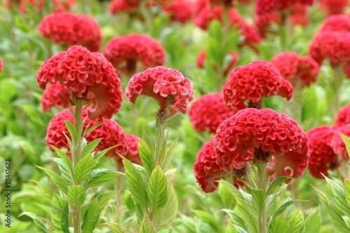 Fotografie, Obraz  Red Cockscomb Blooming In Flower Bed
